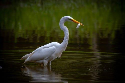 Foto stok gratis air, alam, burung, danau