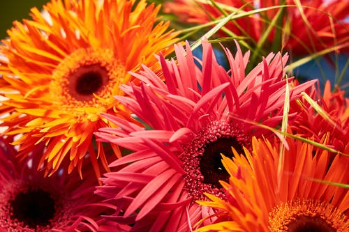 Free stock photo of beautiful, colored, flower, gerbera