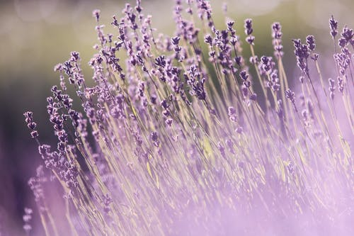 Selective Focus Photography of Purple Lavender Flowers