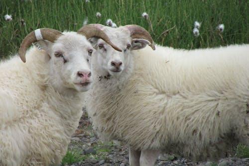 Darmowe zdjęcie z galerii z jagnięta, owca
