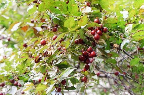 Darmowe zdjęcie z galerii z czerwone owoce, drzewo, gałąź, jedzenie