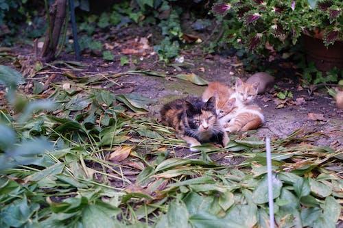 Darmowe zdjęcie z galerii z koci, kotek, koty, liście