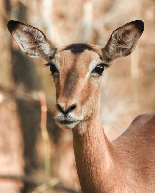 Darmowe zdjęcie z galerii z antylopa, brązowy, fotografia zwierzęcia, gazela