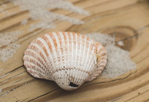 Free stock photo of beach, coastal, sea shell