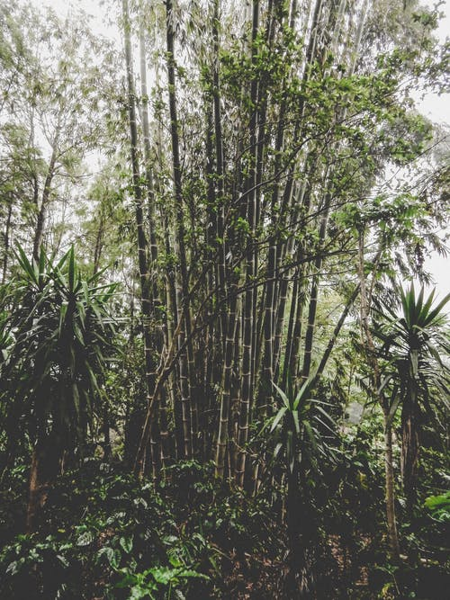 Free stock photo of bamboo, bamboos, green