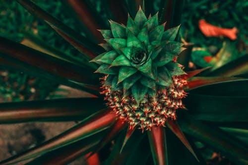 Gratis lagerfoto af ananas, HD-baggrund, natur baggrund, rød