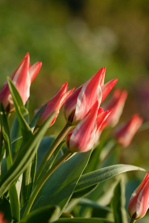 Photos gratuites de tulipes