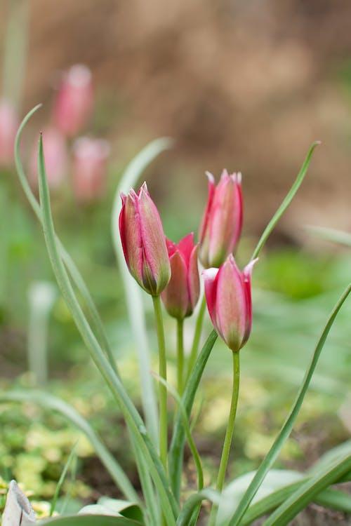Immagine gratuita di tulipani