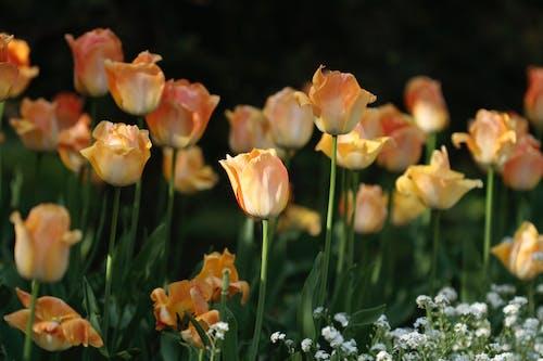 Immagine gratuita di giardino, tulipani