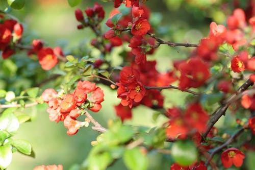 Immagine gratuita di cespuglio, fioritura, giardino