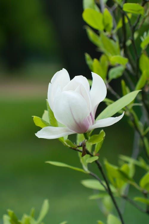 Immagine gratuita di magnolia