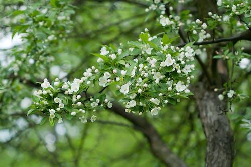 Immagine gratuita di fioritura, frutteto, giardino, melo