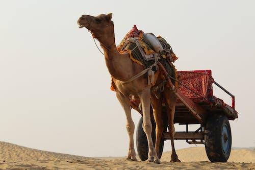 贾沙梅尔, 非洲狩獵旅行, 駱駝, 騎乘 的 免费素材照片