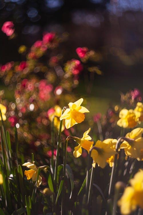 Kostenloses Stock Foto zu bokeh, botanische gärten, frühling, garten