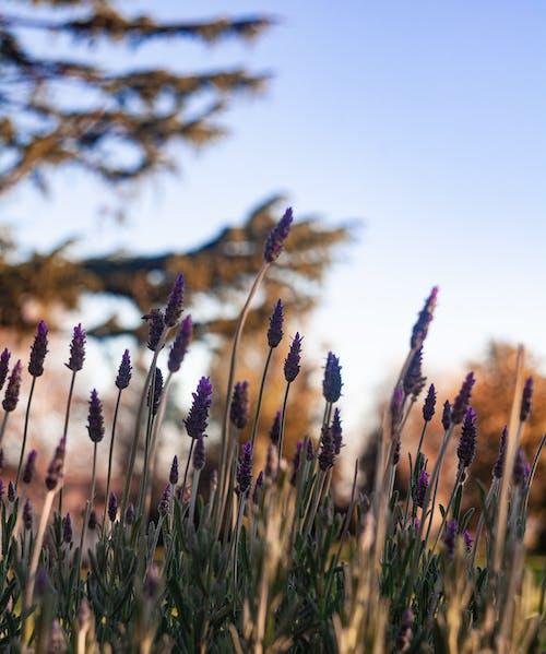Kostenloses Stock Foto zu blühende plfanzen, flora, lavendel (blume), lila blüten