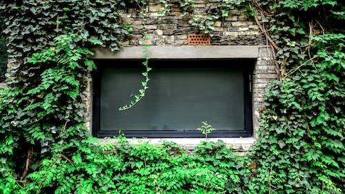 Free stock photo of brick wall, climbing plant, window