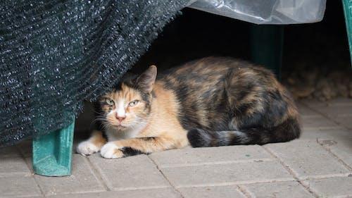 Darmowe zdjęcie z galerii z koci, kot, siadać, zwierzę