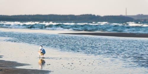Free stock photo of Baltic Sea, beach, bird, coast
