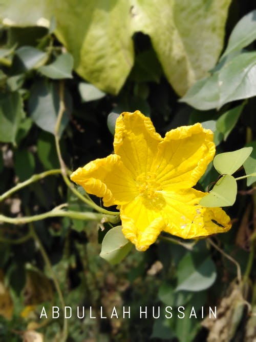 Darmowe zdjęcie z galerii z # kwiaty #żółty, #kwiaty, #natura, #pakistan