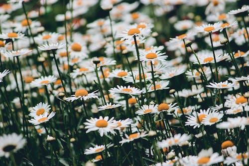 Foto stok gratis bunga aster, bunga liar, bunga-bunga, bunga-bunga indah