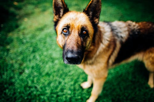 German Shepherd Dog Standing on Green Grass