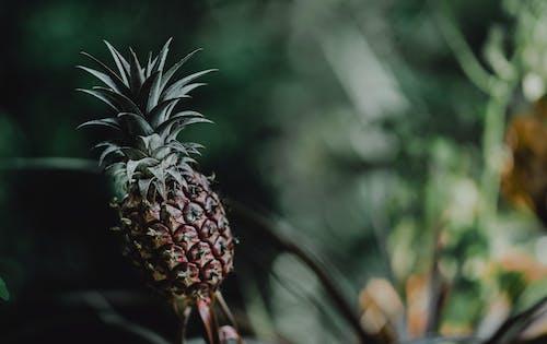 Gratis arkivbilde med ananas, selektiv fokus, tropisk frukt, uskarphet