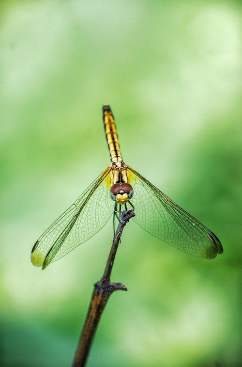 Ảnh lưu trữ miễn phí về cánh, chụp ảnh côn trùng, con chuồn chuồn, đậu