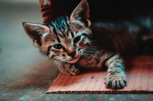 Close-up Photo of Kitten Lying Down on Cardboard