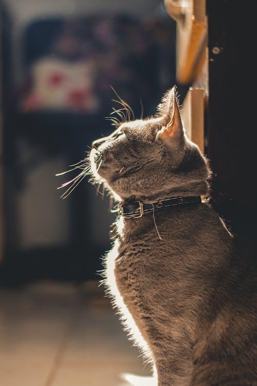 Δωρεάν στοκ φωτογραφιών με chartreux, gato, merchandising, Γάτα