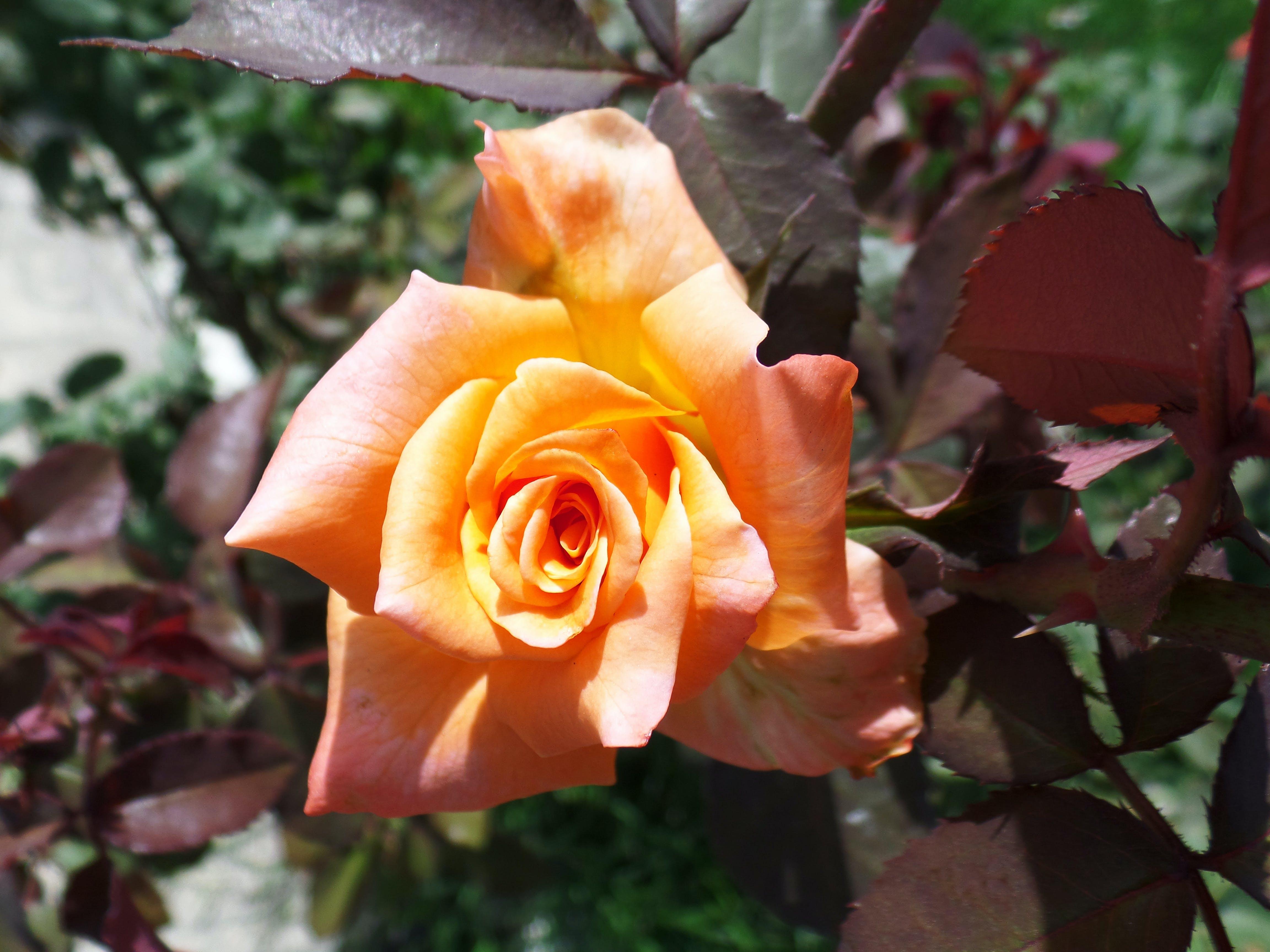 Free stock photo of beautiful flowers, beautiful rose, flower, nature