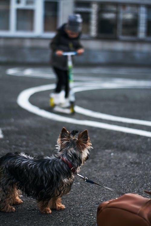 Foto profissional grátis de pequeno cachorro, Yorkshire Terrier