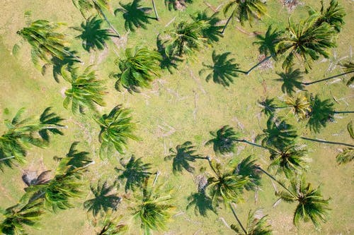 Бесплатное стоковое фото с вид сверху, деревья, кокосовые пальмы, пальмовые деревья