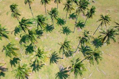 Fotobanka sbezplatnými fotkami na tému kokosové palmy, palmy, stromy, tropický