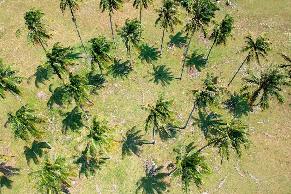 pepohonan palem, pohon, pohon kelapa