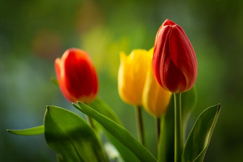 Red and Yellow Tulips in Bloom
