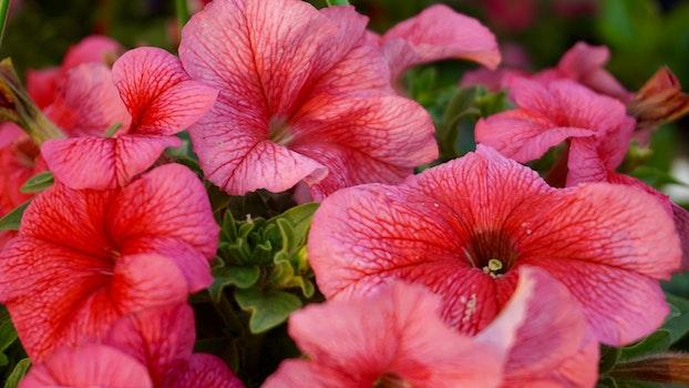 Kostenloses Stock Foto zu natur, rot, blumen, blütenblätter