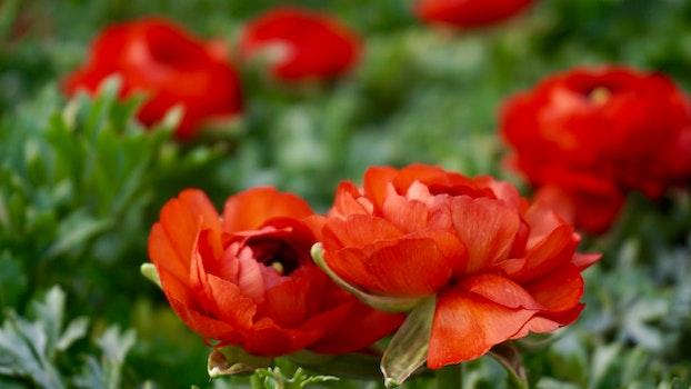 Kostenloses Stock Foto zu blumen, garten, blütenblätter, blätter
