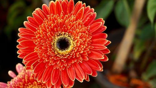 Ilmainen kuvapankkikuva tunnisteilla gerbera, hauras, kasvikunta, kasvu