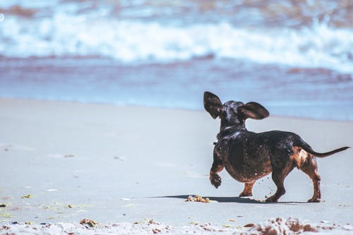 Black Chihuahua Walking on Seashore