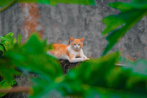 Free stock photo of a wild cat resting on a wall, adorable, among