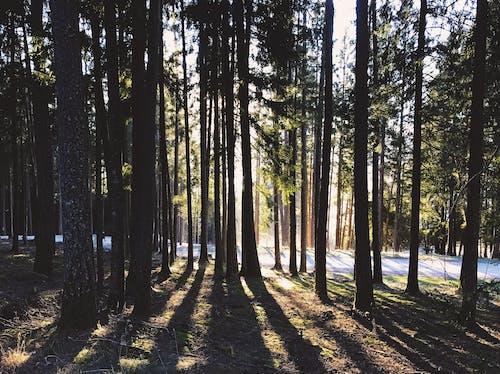 太陽, 森林, 樹, 樹木 的 免费素材照片