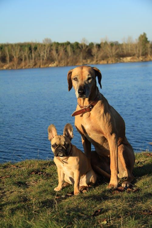 Free stock photo of bestfriend, bulldog, dog