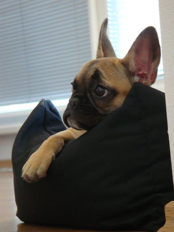 Free stock photo of bulldog, dog, french bulldog