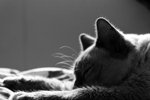 貓, 貓臉, 黑與白 的 免费素材照片