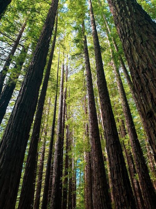 Fotobanka sbezplatnými fotkami na tému borovice, fotografia prírody, ísť na túru, kmene stromov