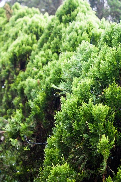 ağaçlar, arka fon, çamlar, doğa içeren Ücretsiz stok fotoğraf