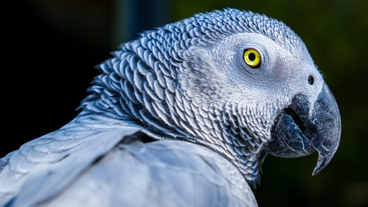 africký šedý papagáj, exteriéry, fotografia prírody
