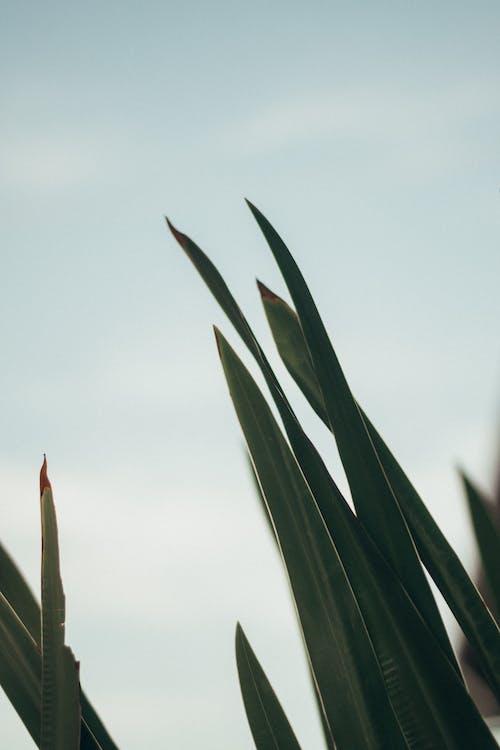 Gratis lagerfoto af Agave, Aloe, blade, Botanisk