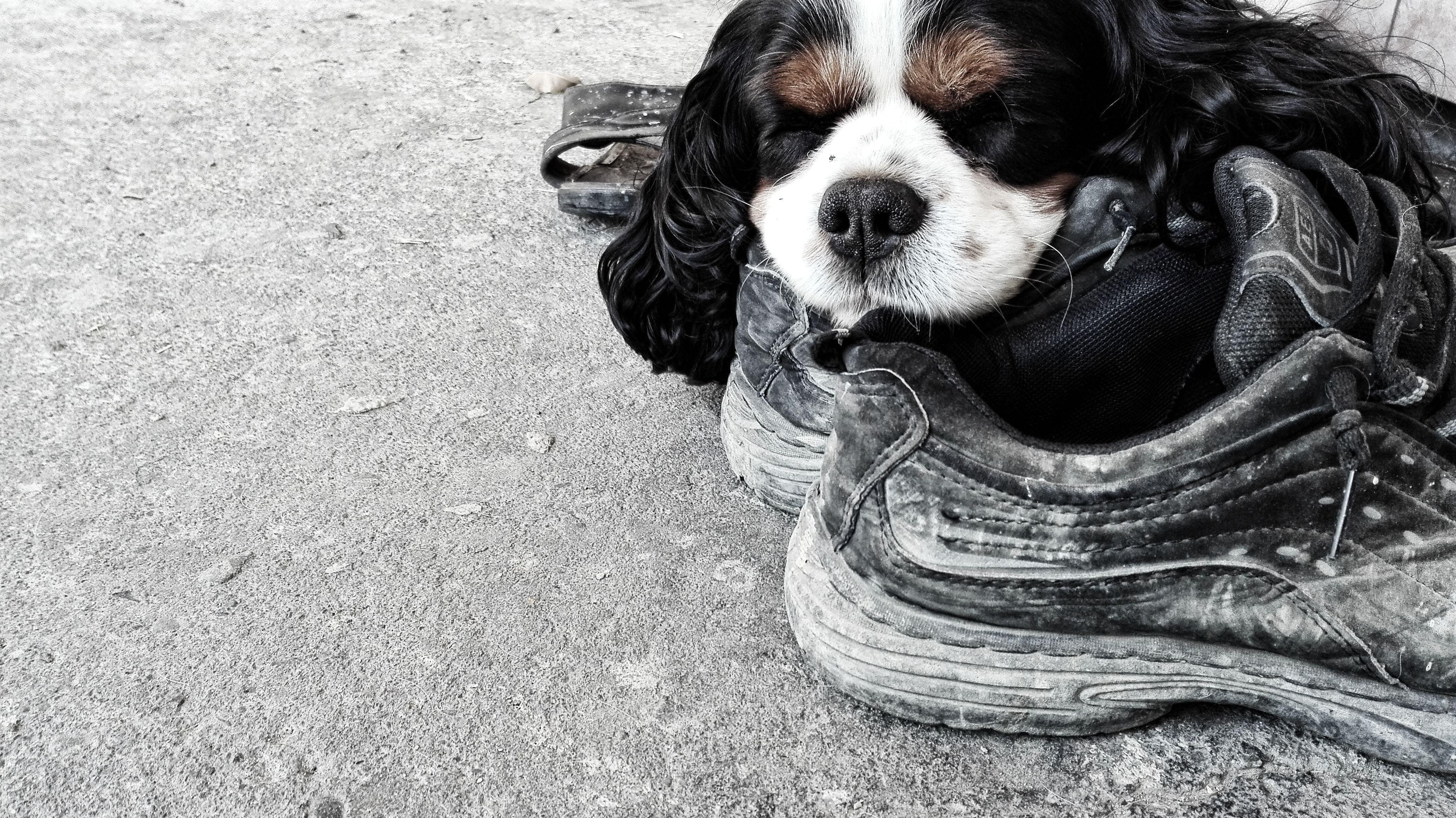 Foto profissional grátis de cachorro, cachorro dormindo, chuteiras