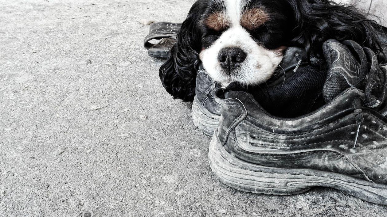Fotos de stock gratuitas de botas, perro, perro durmiendo